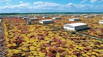 extensive green roof system ECONOMY ROOF Optigreen