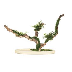 preserved ornamental-plant / bonsai