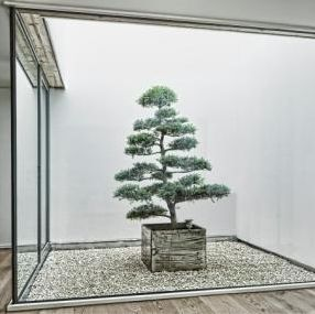 bonsai ornamental-plant