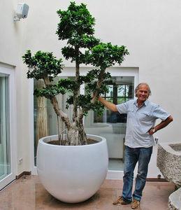 bonsai ornamental-plant